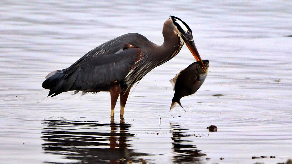 Blank Card - Wildlife/Nature Print - Great Blue Heron with Perch