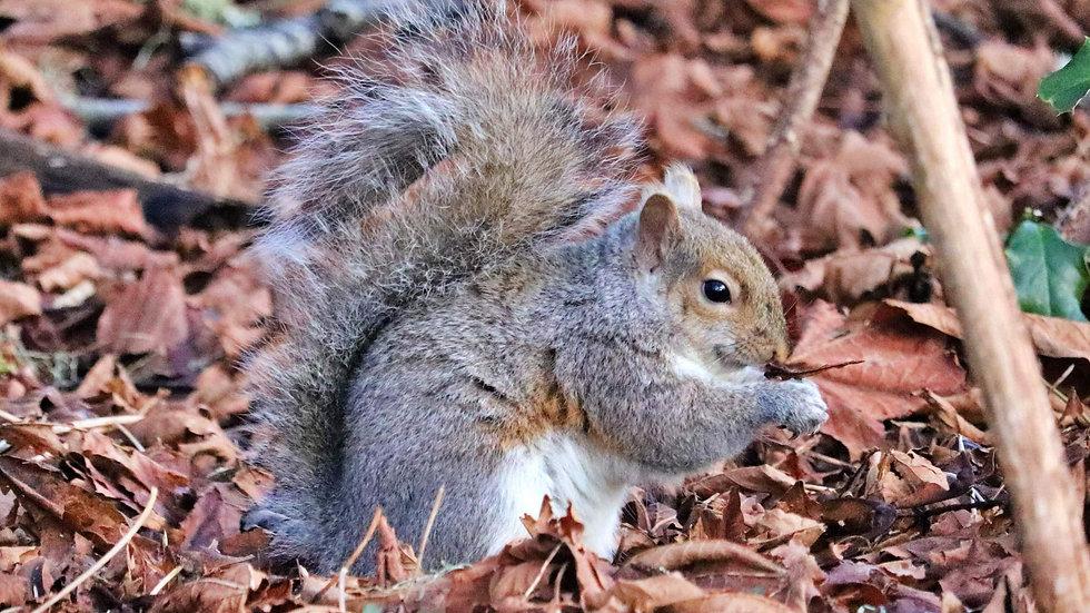 Blank Card - Wildlife/Nature Print - Squirrel3