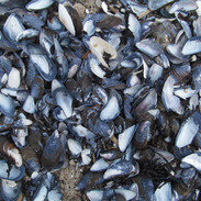Coquillages Moules Bleues