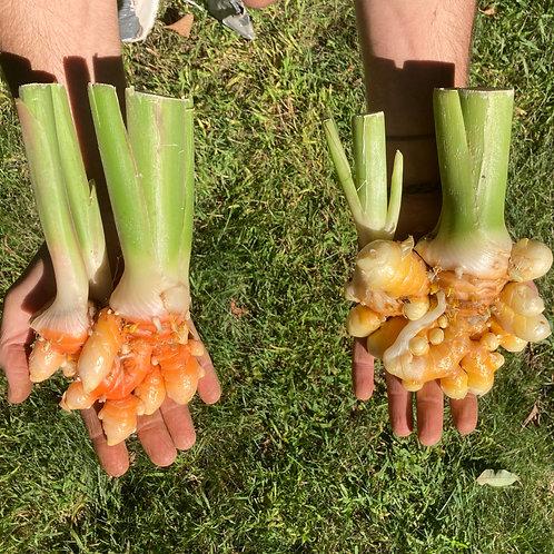 Turmeric Root, Fresh/Young