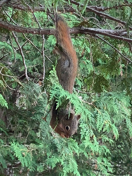 The most tena-cious squirrel