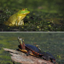 Amphibian and reptile friends