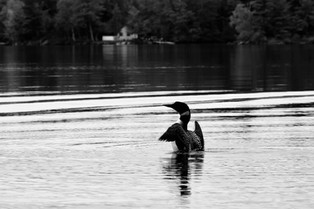 An iconic common loon