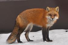 Beautiful winter coat on Mr. Fox