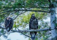 Parent with fledgling Bald Eagle