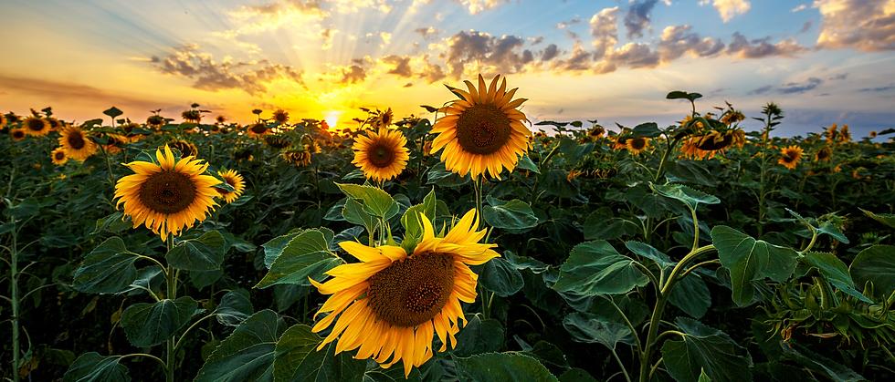 Sunflower Field.png