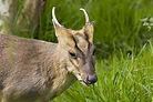 muntjac, staking, england, hunting, deer