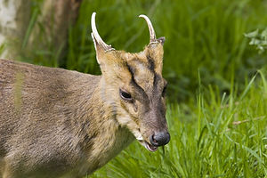 Muntjac stalking, deer, england, muntjac, stalking