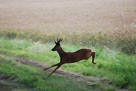 Roe deer, stalking, deer, england, scotland, roe buck, roe, deer