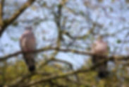 pigeon, england, decoying, shooting