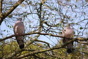 pigeon, england, decoying, shooting