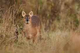 Chinese water deer, approche, chasse, hydropote, angleterre