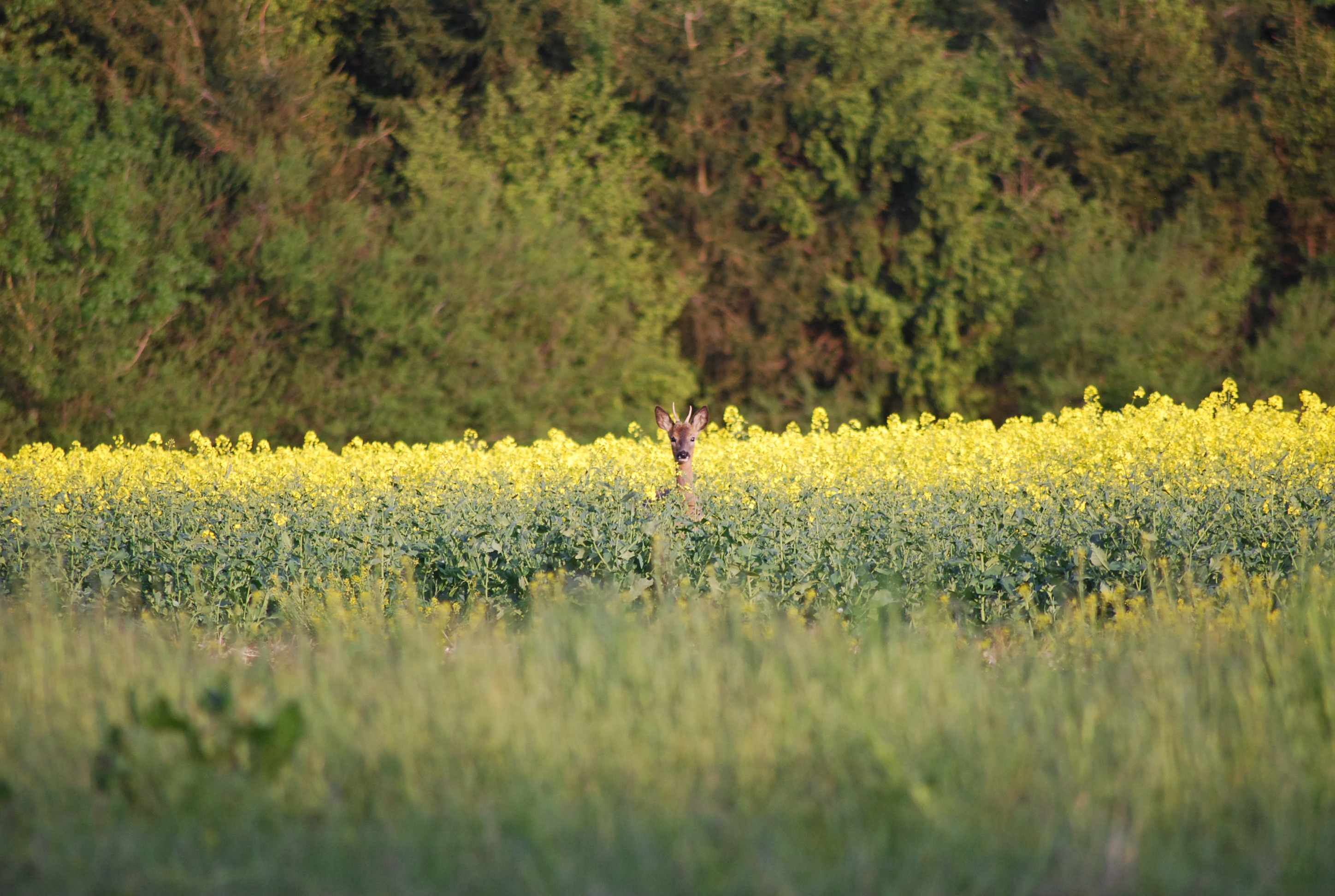 Roe deer stalking