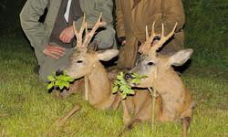 Roe deer stalking