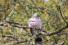 pigeon shooting, england, pigeon, decoy, pigeon flighting
