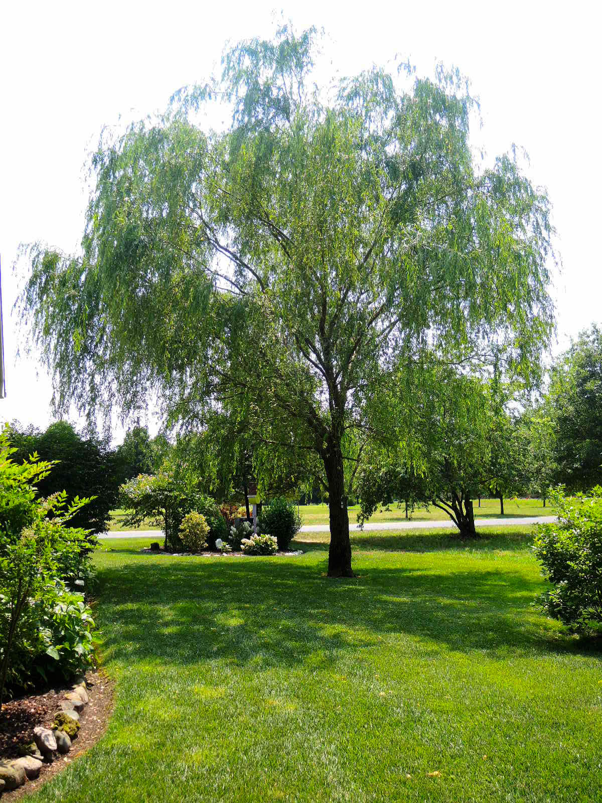 DSCN9999_-_willow_tree[1].jpg