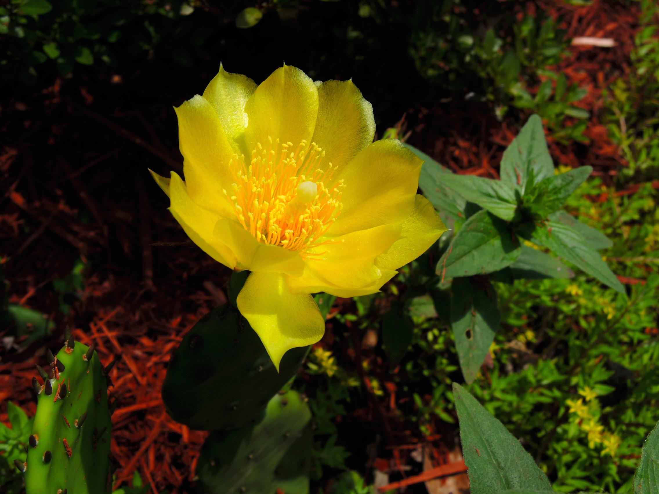 DSCN0016 - yellow cactus flower.jpg