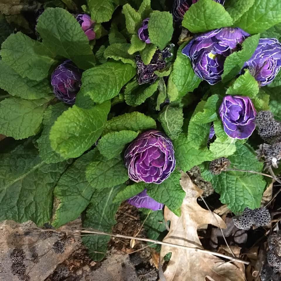 Double Primula Belarina.jpg