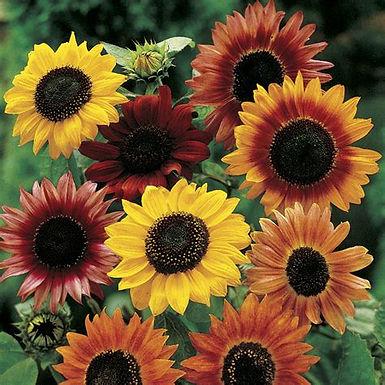 Sonneblumm Mix