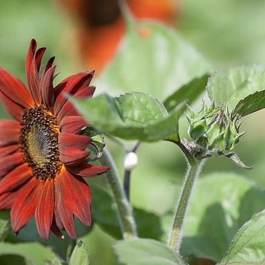 Sonneblumm Velvet Queen