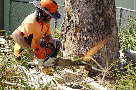 Pete is preparing the stump to be felled.