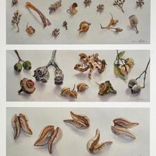 Australian Seedpods Triptych