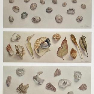 Shells Triptych