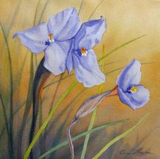 Native Iris