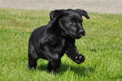 connie in action at 8wks
