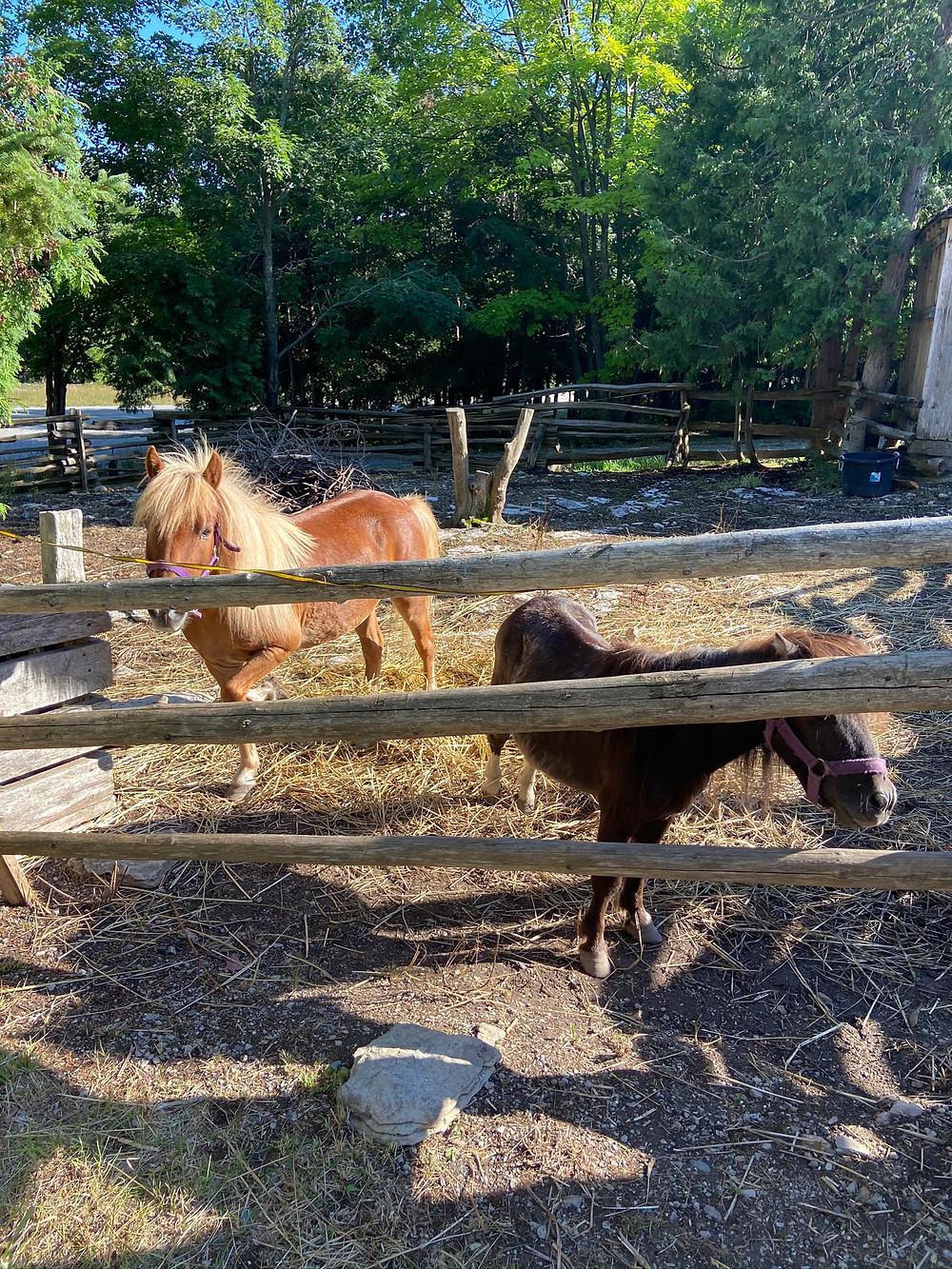 Ponies at Kicking Mule Ranch Manitoulin Island