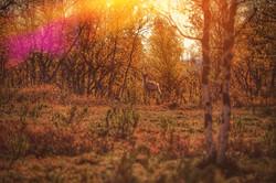 Ruska ja poro - Reindeer during the Autumn colors.