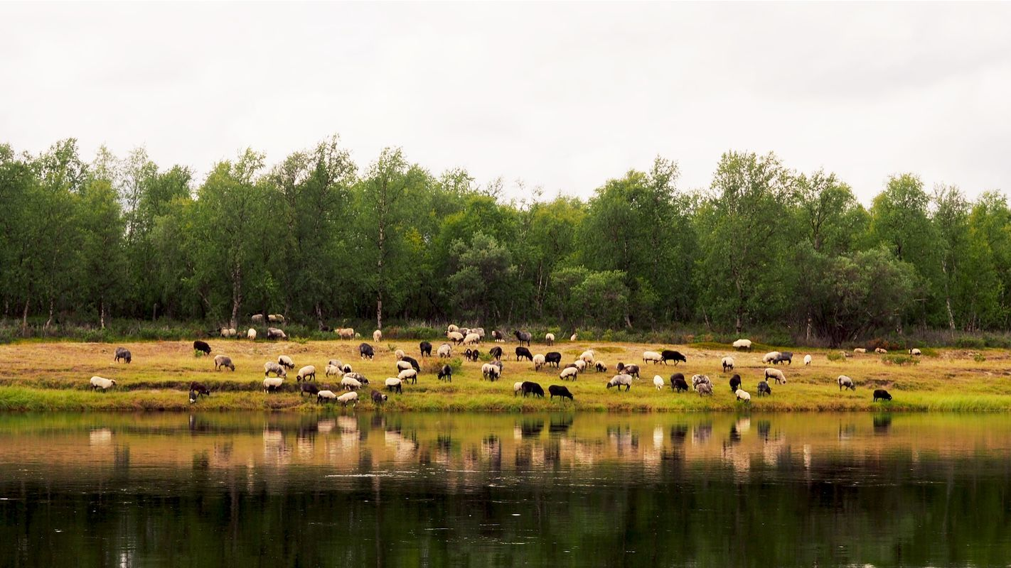 Sheeps at the beach by river Inari