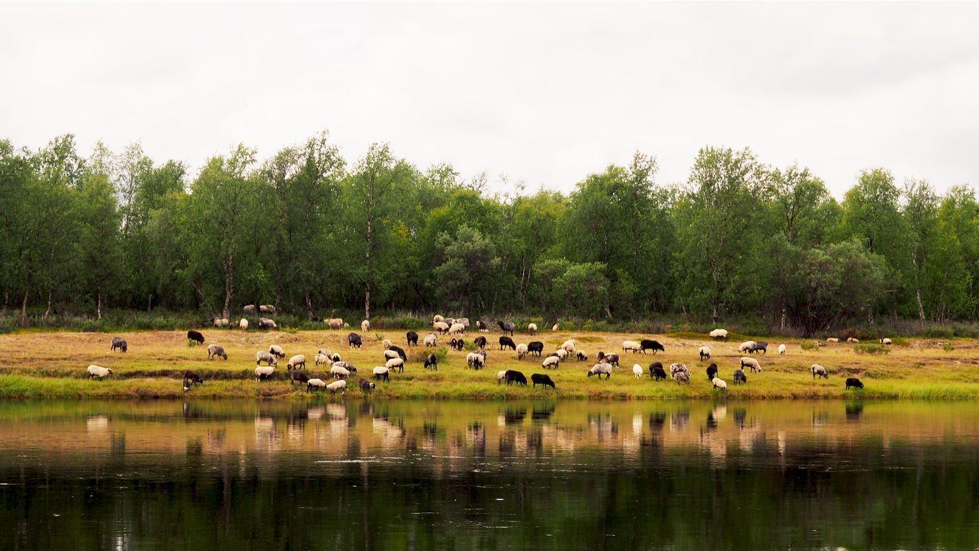 Sheeps at the beach by river Inari