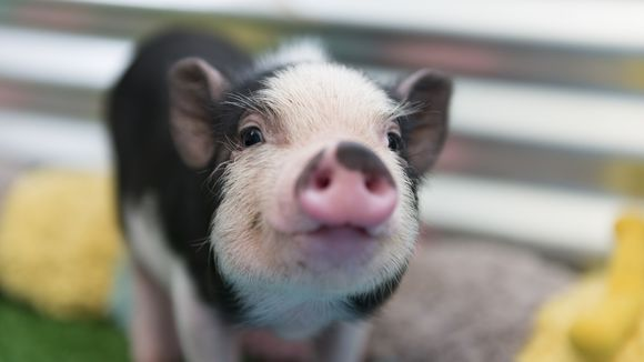 Pig Picture