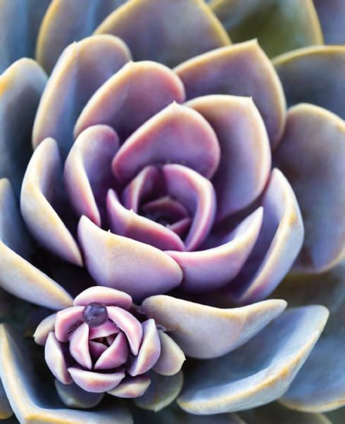succulent-2.png