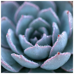 a.MORNING_ECHEVERIA_2_-_ALICIA_BOCK_gran