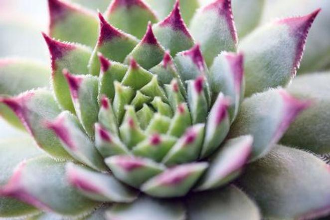 yastremska-beautiful-succulent-plant-clo
