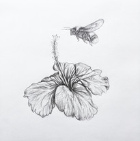 Bee and Hibiscus, pencil on paper, 2019