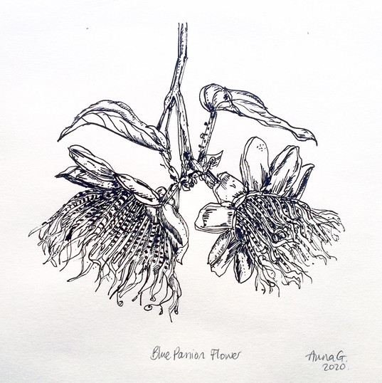 Blue Passion Flower, ink on paper, 2020.