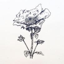 Poppy, ink on paper, 2020.