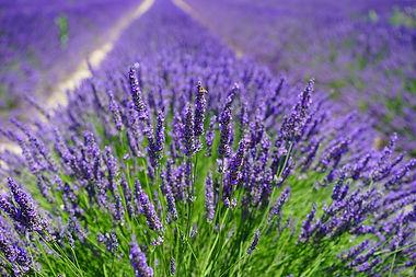 Lavender - Photo Credit Image by Hans Br