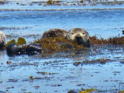 Monterey Bay Otter