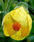 chinese bell flower.jpg
