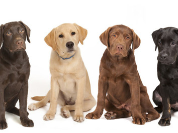 7 Interesting Facts about Labradors - Labrador Month