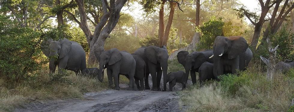 elephant herd.png