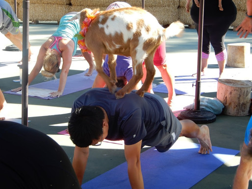 No kidding: Goat Yoga a test of flexibility, concentration