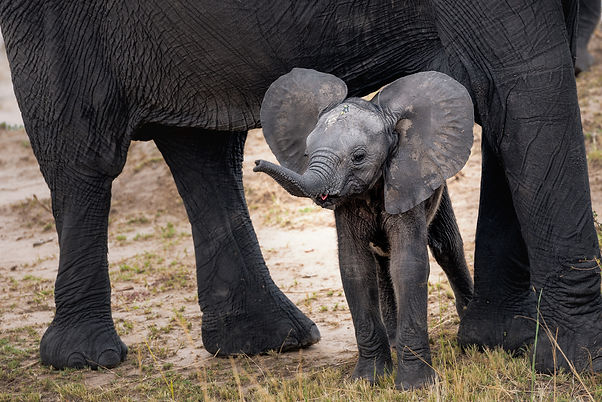 baby elephant tongue out.jpg