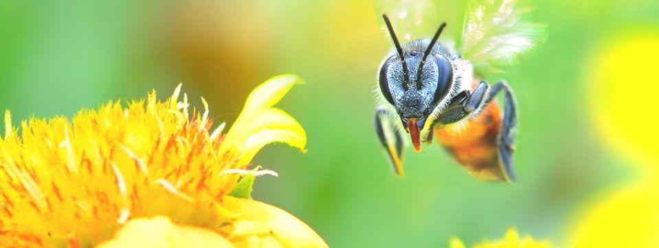 Bumblebee in flight_edited.jpg