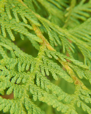 white-cedar-leaves-616238640-5aa9ce7a1f4