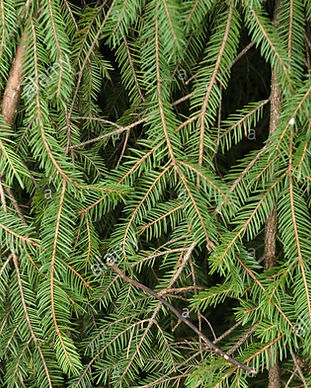 foliage-of-norway-spruce-PXDD6Y_edited.j